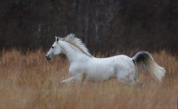 Funcionamiento del caballo de Tersk Imagen de archivo