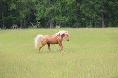 Funcionamiento del caballo del Palomino Imagen de archivo libre de regalías