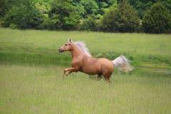 Funcionamiento del caballo del Palomino Foto de archivo libre de regalías