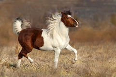 Funcionamiento del caballo del Pinto fotos de archivo