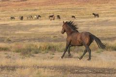 Funcionamiento del caballo salvaje imagen de archivo libre de regalías