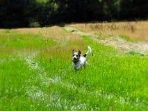 Funcionamiento del campo del perro de Terrier Imagenes de archivo