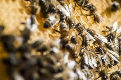 Funcionamiento del capítulo de la cera de la colmena de la abeja de la miel Foto de archivo