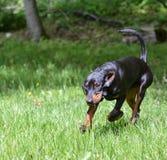 Funcionamiento del Coonhound Fotografía de archivo