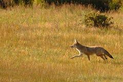 Funcionamiento del coyote imagenes de archivo