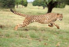 Funcionamiento del guepardo Fotografía de archivo