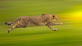 Funcionamiento del guepardo Imagenes de archivo
