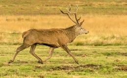 Funcionamiento del macho de los ciervos comunes fotos de archivo libres de regalías