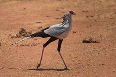 Funcionamiento del pájaro de secretaria y cruzar el camino durante un safari del coche Foto de archivo