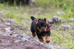 Funcionamiento del perrito de Rottweiler Fotos de archivo libres de regalías