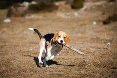 Funcionamiento del perrito del beagle Fotografía de archivo