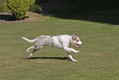 Funcionamiento del perrito del collie de frontera Foto de archivo libre de regalías
