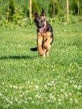 Funcionamiento del perrito del pastor alemán Foto de archivo