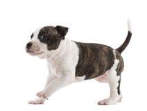 Funcionamiento del perrito del terrier de Staffordshire americano Foto de archivo libre de regalías