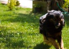 Funcionamiento del perro Imágenes de archivo libres de regalías