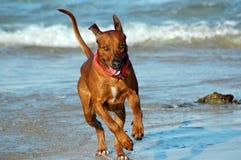 Funcionamiento del perro Imagen de archivo libre de regalías