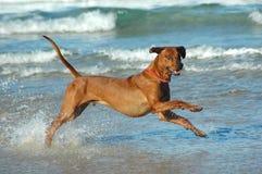 Funcionamiento del perro Fotos de archivo libres de regalías