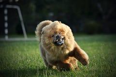 Funcionamiento del perro chino de Chow Imagenes de archivo