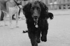 Funcionamiento del perro de aguas foto de archivo