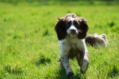 Funcionamiento del perro de aguas de saltador Foto de archivo libre de regalías
