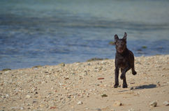 Funcionamiento del perro de Labrador Foto de archivo libre de regalías