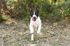 Funcionamiento del perro de perrito feliz y divertido fotografía de archivo libre de regalías