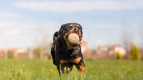 Funcionamiento del perro de Rottweiler Fotografía de archivo libre de regalías