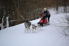 Funcionamiento del perro de trineo Imagen de archivo libre de regalías