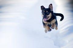 Funcionamiento del perro del invierno Fotografía de archivo