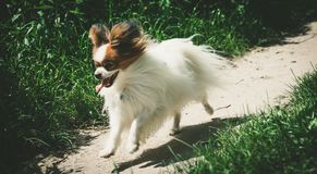 Funcionamiento del perro en el camino del campo entre los árboles, en el perro adulto del papillon del bosque que corre con su le fotografía de archivo