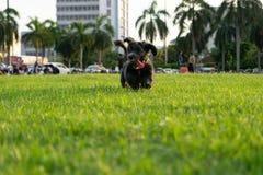 Funcionamiento del perro negro Fotografía de archivo