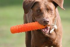 Funcionamiento del perro perdiguero de Labrador Imagen de archivo