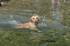 Funcionamiento del perro perdiguero de oro Foto de archivo libre de regalías