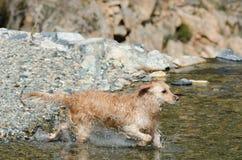 Funcionamiento del perro perdiguero de oro Fotografía de archivo