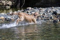 Funcionamiento del perro perdiguero de oro Fotografía de archivo libre de regalías