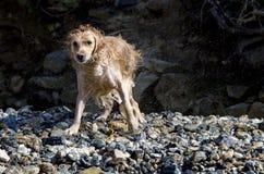 Funcionamiento del perro perdiguero de oro Foto de archivo