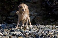 Funcionamiento del perro perdiguero de oro Fotos de archivo libres de regalías
