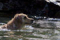 Funcionamiento del perro perdiguero de oro Imágenes de archivo libres de regalías