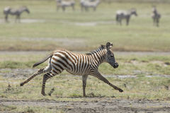 Funcionamiento del potro de la cebra común de los jóvenes, Tanzania Fotos de archivo libres de regalías