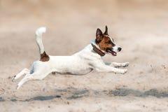 Funcionamiento del terrier de Jack Russell Imagen de archivo libre de regalías