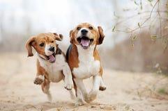Funcionamiento divertido de dos perros del beagle Fotografía de archivo libre de regalías