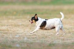 Funcionamiento feliz de la diversión de la chihuahua al aire libre imagen de archivo libre de regalías