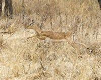 Funcionamiento femenino del impala Fotos de archivo libres de regalías