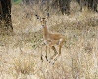 Funcionamiento femenino del impala Imágenes de archivo libres de regalías