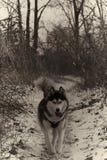 Funcionamiento fornido en la nieve B&W imágenes de archivo libres de regalías