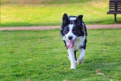 Funcionamiento hacia perro divertido del collie Fotografía de archivo libre de regalías