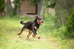 Funcionamiento joven del perro de Rottweiler Imágenes de archivo libres de regalías