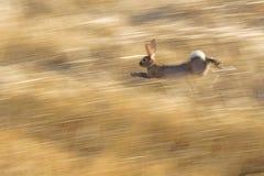 Funcionamiento salvaje del conejo Foto de archivo libre de regalías