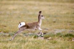 Funcionamiento salvaje del gazelle Imagen de archivo libre de regalías