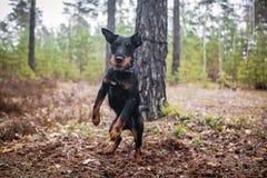 Funcionamiento y el jugar alegres del perro Foto de archivo libre de regalías